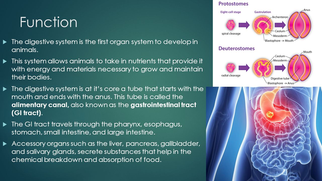 Digestive System ANATOMY AND PHYSIOLOGY. Function  The digestive ...