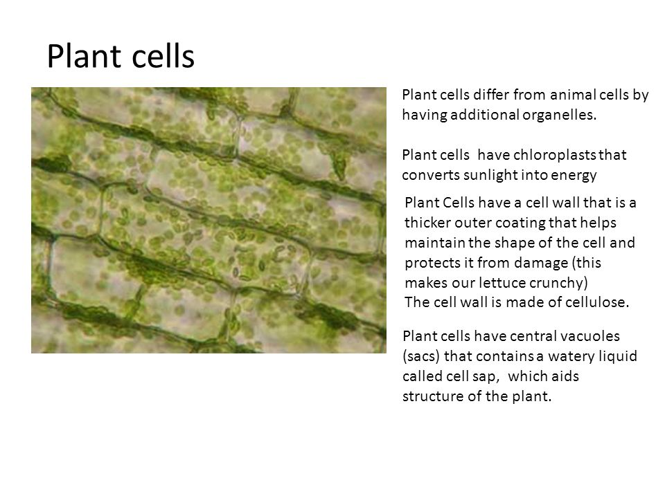 Plant cells Plant cells differ from animal cells by having additional organelles.