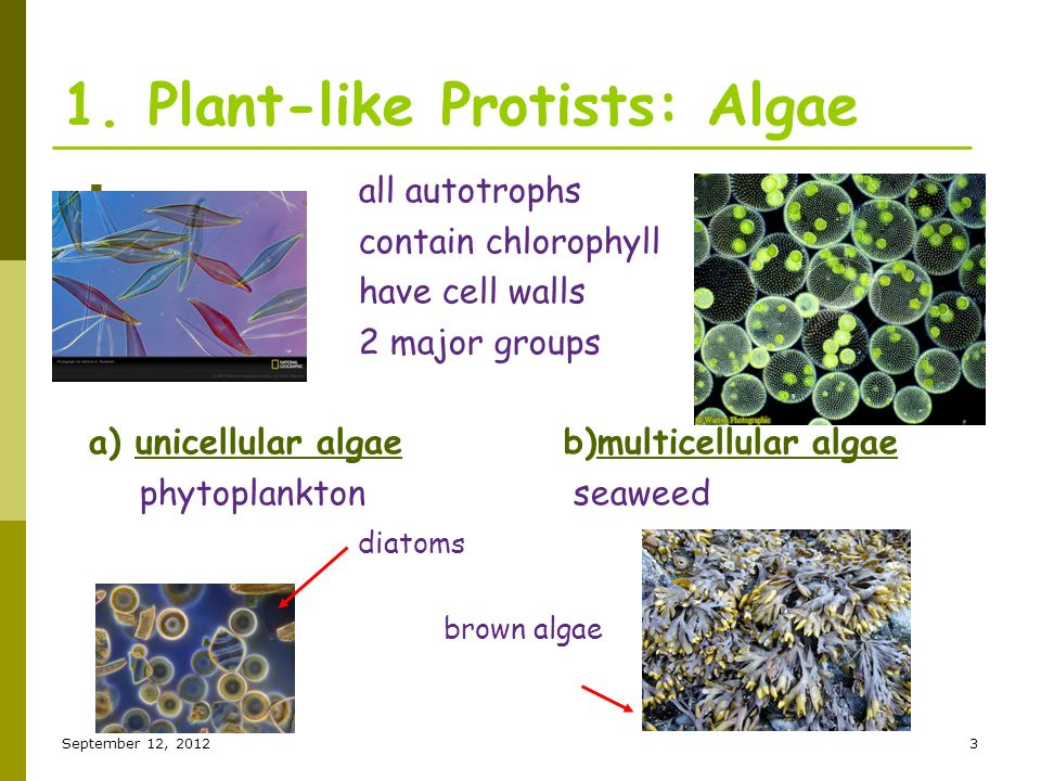 Diatom asexual reproduction plants