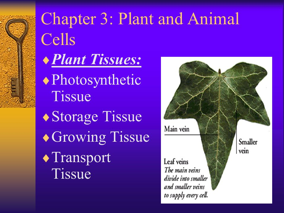 Chapter 3: Plant and Animal Cells  Plant Tissues:  Photosynthetic Tissue  Storage Tissue  Growing Tissue  Transport Tissue