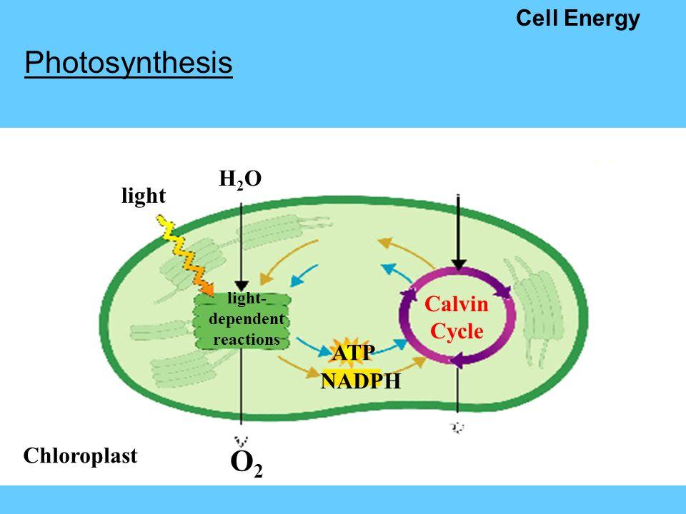 Photosynthesis cell diagram diagram schematic cell energy photosynthesis source of energy in most living protozoa cell diagram photosynthesis cell diagram ccuart Choice Image