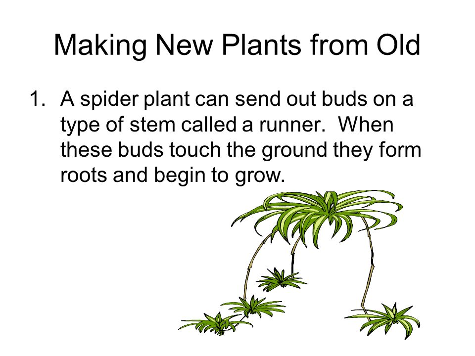 Spider plant asexual reproduction