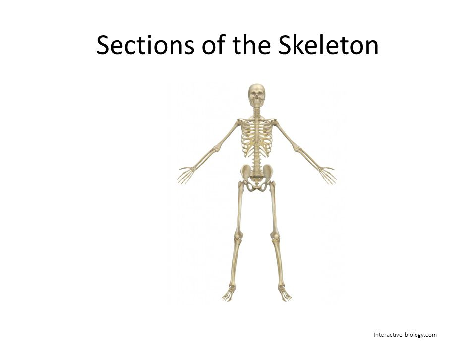 Musculo Skeletal System Role Of The Musculo Skeletal System To