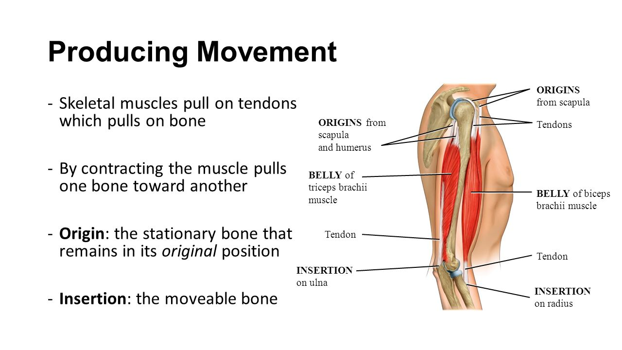 The Muscular System Ch Producing Movement Skeletal Muscles Pull On