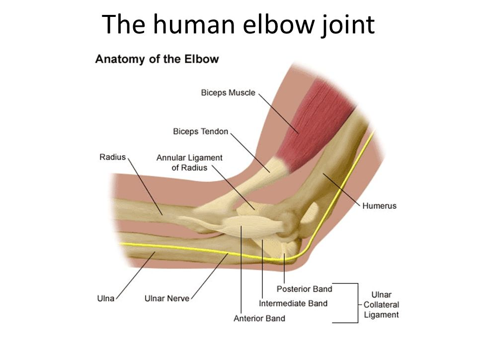 Diagram Of The Human Elbow Joint 2010fuss Atelier