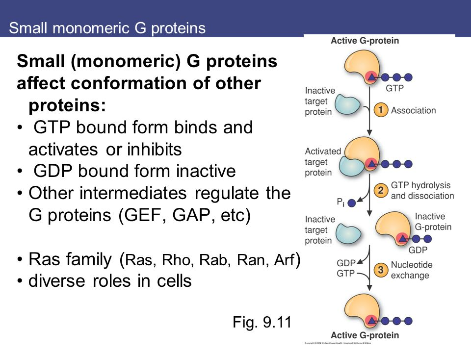 Small monomeric G proteins Small (monomeric) G proteins affect conformation of other proteins: GTP bound form binds and activates or inhibits GDP bound form inactive Other intermediates regulate the G proteins (GEF, GAP, etc) Ras family ( Ras, Rho, Rab, Ran, Arf ) diverse roles in cells Fig.