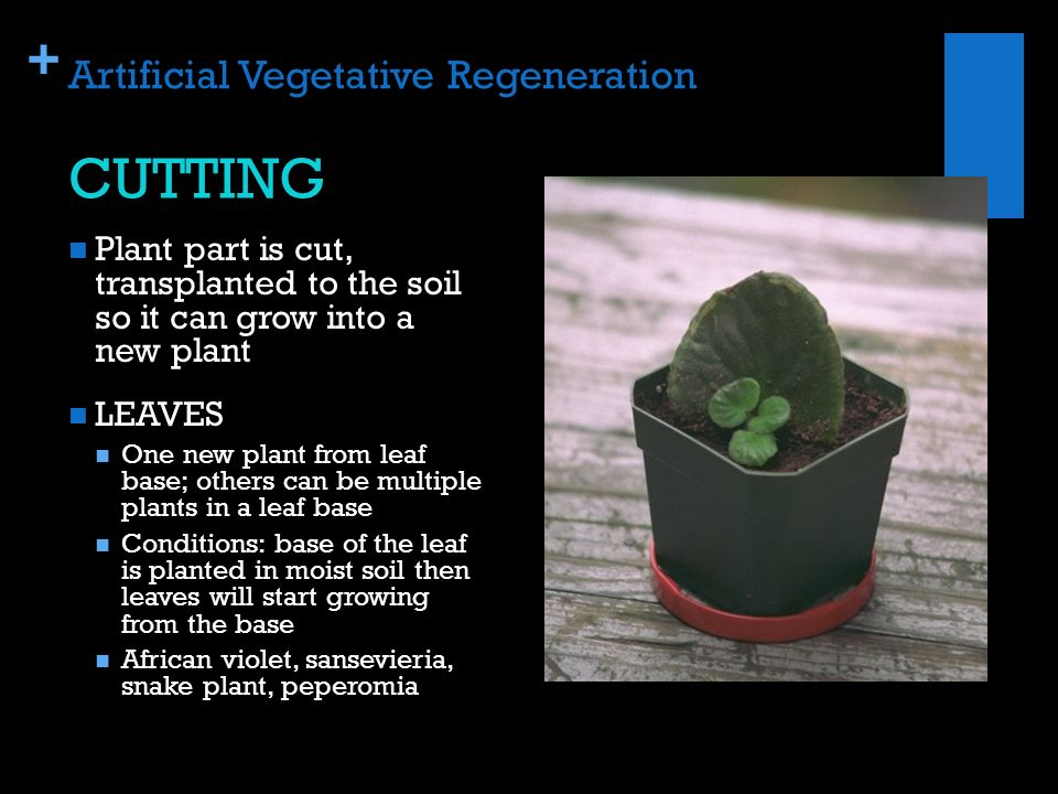 Asexual reproduction in plants regeneration doctor