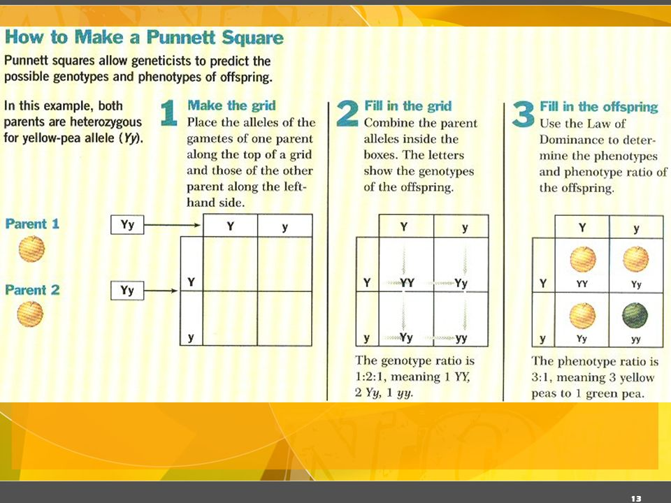 12 Punnett Square -Used to help solve genetics problems -Can only show the possible results of a genetic cross
