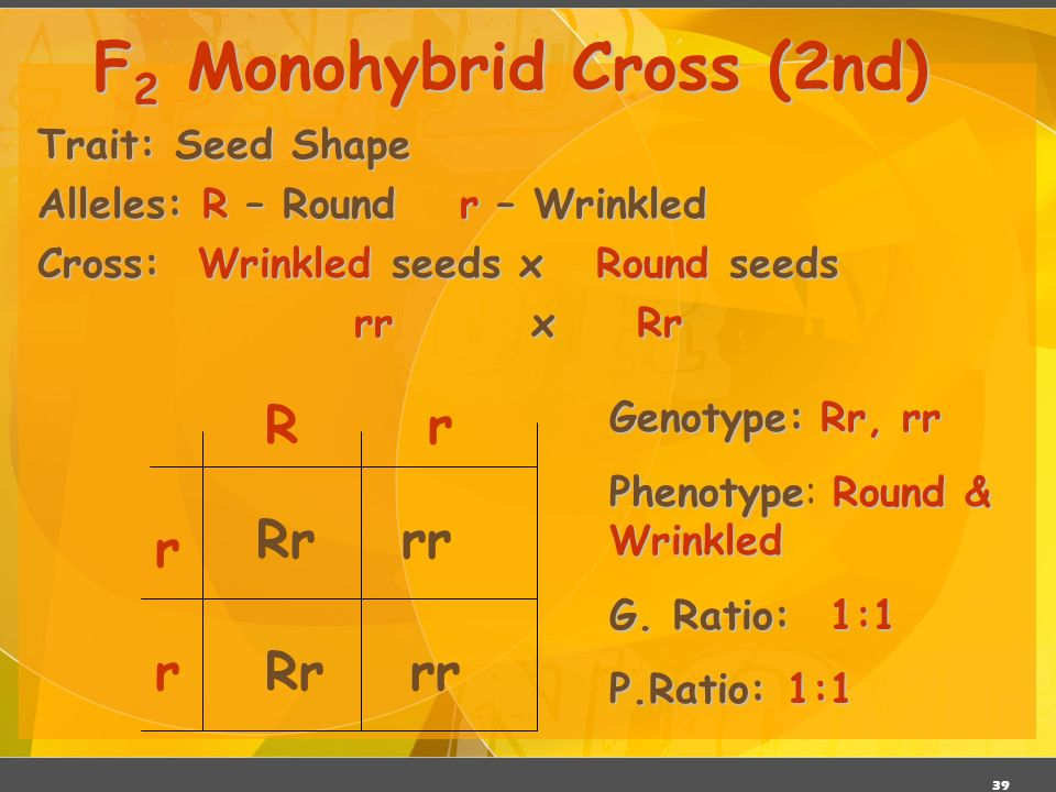 38 Trait: Seed Shape Alleles: R – Roundr – Wrinkled Cross: Round seeds x Round seeds RR x Rr F 2 Monohybrid Cross (1 st ) R R rR RR RrRR Rr Genotype:RR, Rr Genotype: RR, Rr PhenotypeRound Phenotype: Round Genotypic Ratio:1:1 Genotypic Ratio: 1:1 Phenotypic Ratio: All alike
