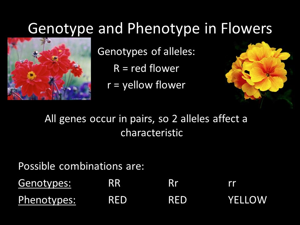 Genotype and Phenotype in Flowers Genotypes of alleles: R = red flower r = yellow flower All genes occur in pairs, so 2 alleles affect a characteristic Possible combinations are: Genotypes:RRRrrr Phenotypes:REDREDYELLOW