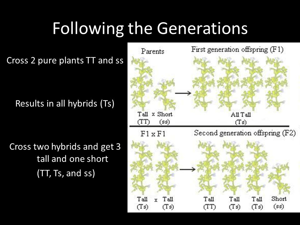 Following the Generations Cross 2 pure plants TT and ss Results in all hybrids (Ts) Cross two hybrids and get 3 tall and one short (TT, Ts, and ss)