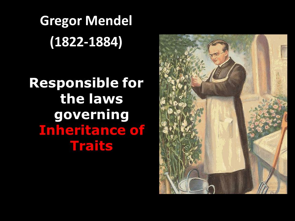 Gregor Mendel ( ) Responsible for the laws governing Inheritance of Traits