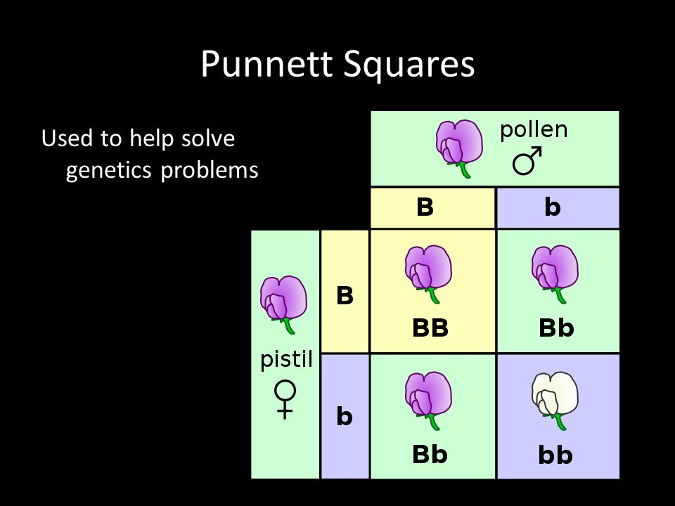 Punnett Squares Used to help solve genetics problems