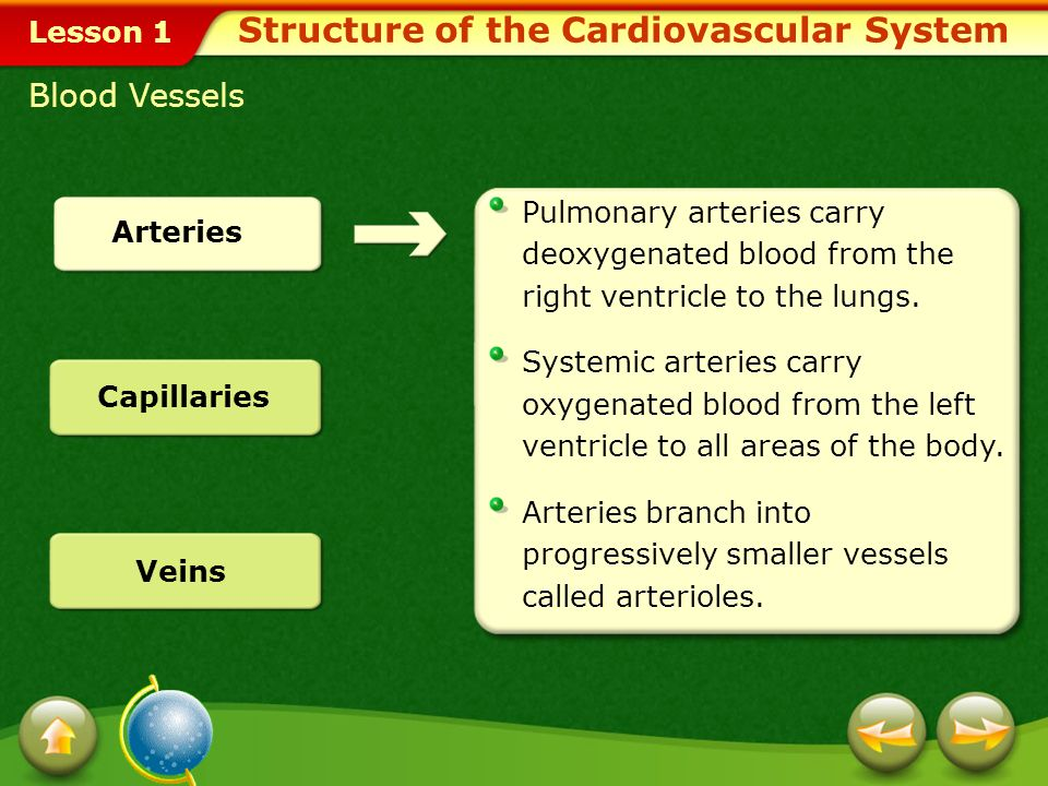 Lesson 1 Red Blood Cells and White Blood Cells Structure of the Cardiovascular System Red blood cells transport oxygen to the cells and tissues of the body.