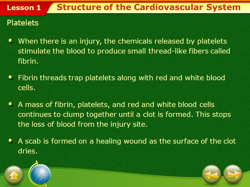 Lesson 1 Veins and Valves Structure of the Cardiovascular System Click image to view movie.