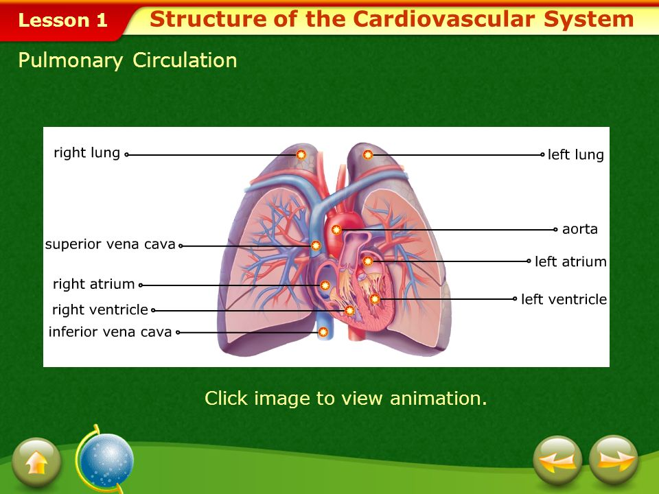 Lesson 1 Circulation in the Heart Blood that contains carbon dioxide and waste matter is carried to the heart by two large blood vessels called the vena cava.