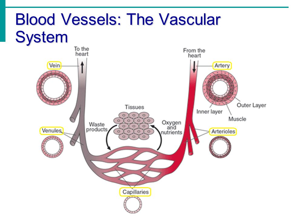 Chapter 11 Part 3 The Cardiovascular System Blood Vessels The