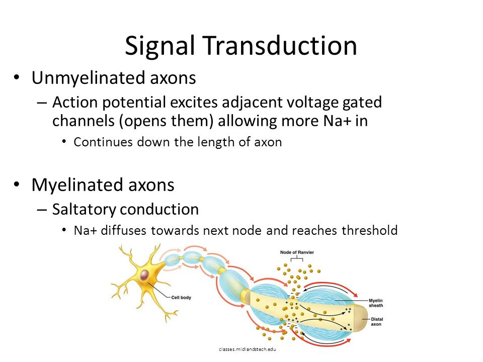 Signal Transduction Unmyelinated axons – Action potential excites adjacent voltage gated channels (opens them) allowing more Na+ in Continues down the length of axon Myelinated axons – Saltatory conduction Na+ diffuses towards next node and reaches threshold classes.midlandstech.edu