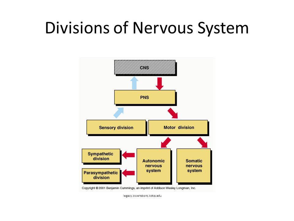 Divisions of Nervous System legacy.owensboro.kctcs.edu