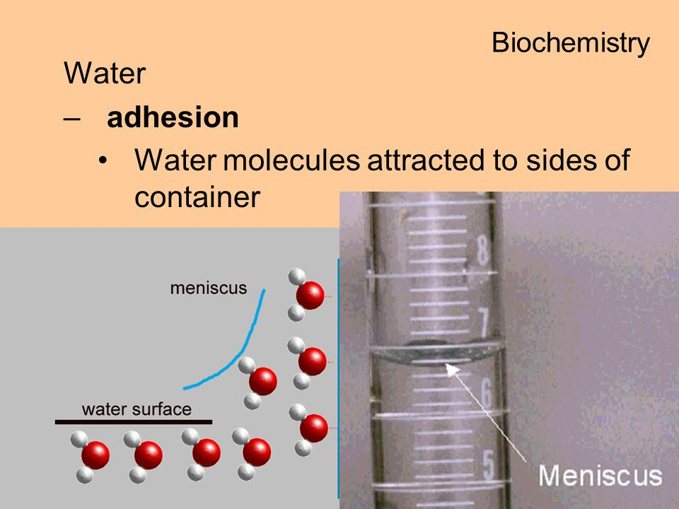 Water –adhesion Water molecules attracted to sides of container Biochemistry