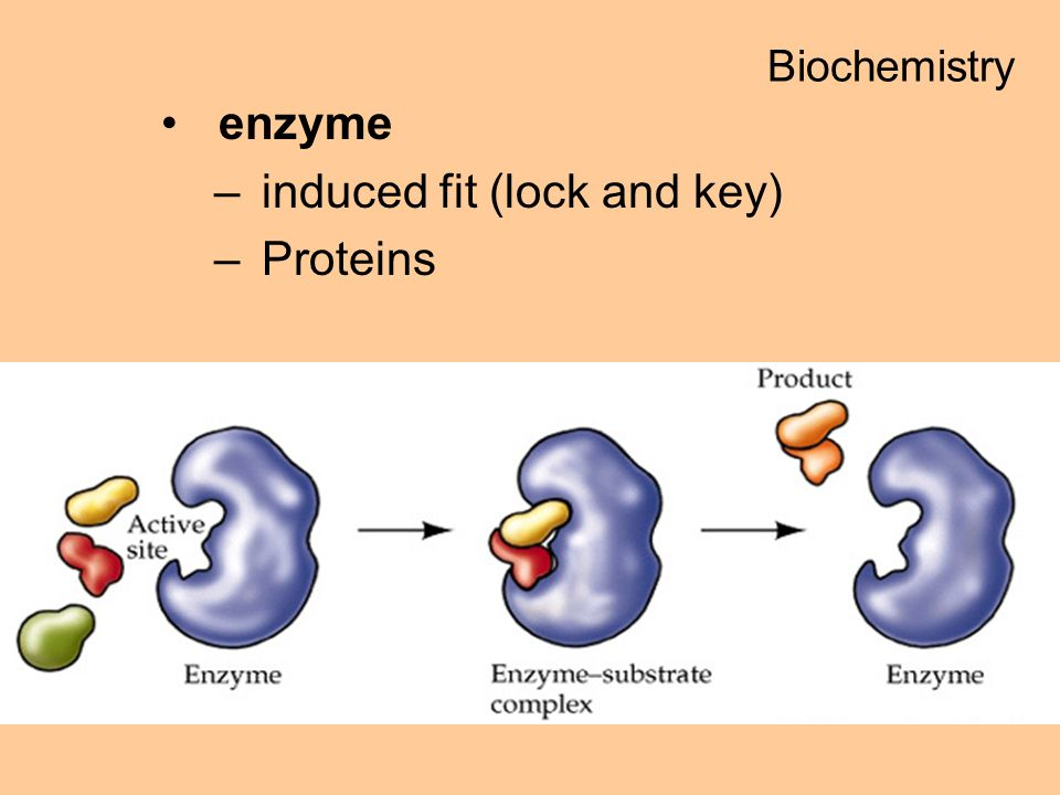 enzyme –induced fit (lock and key) –Proteins Biochemistry