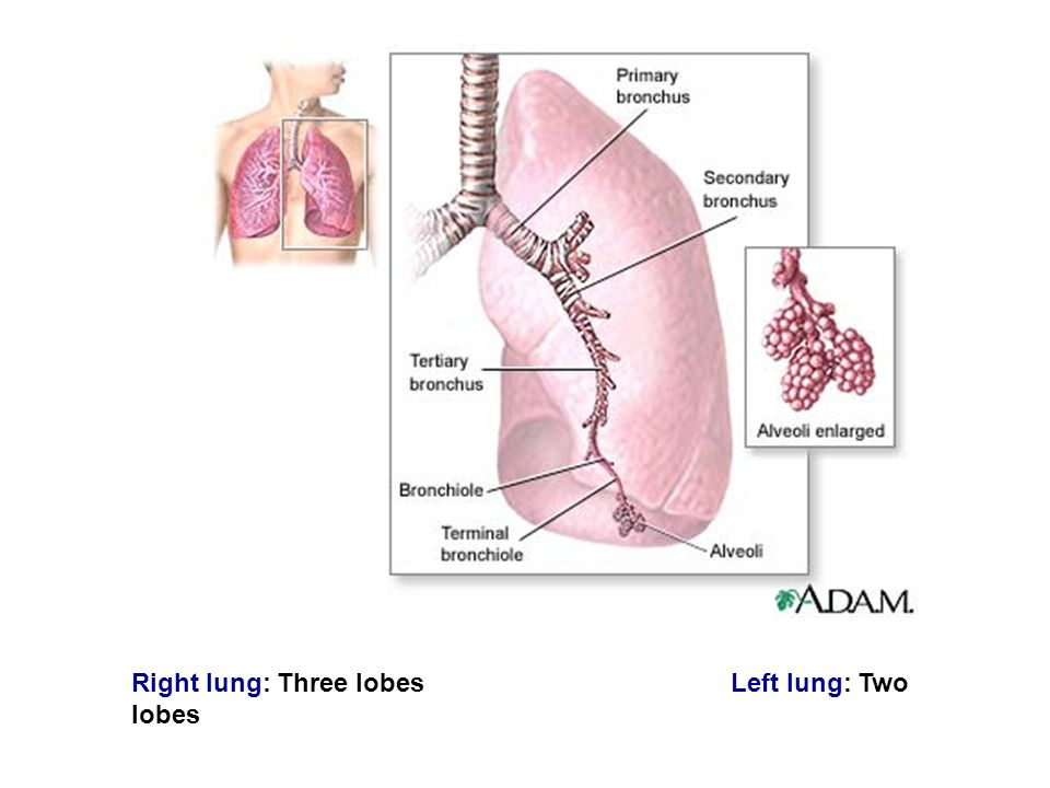 Respiratory System. Right lung: Three lobes Left lung: Two lobes ...