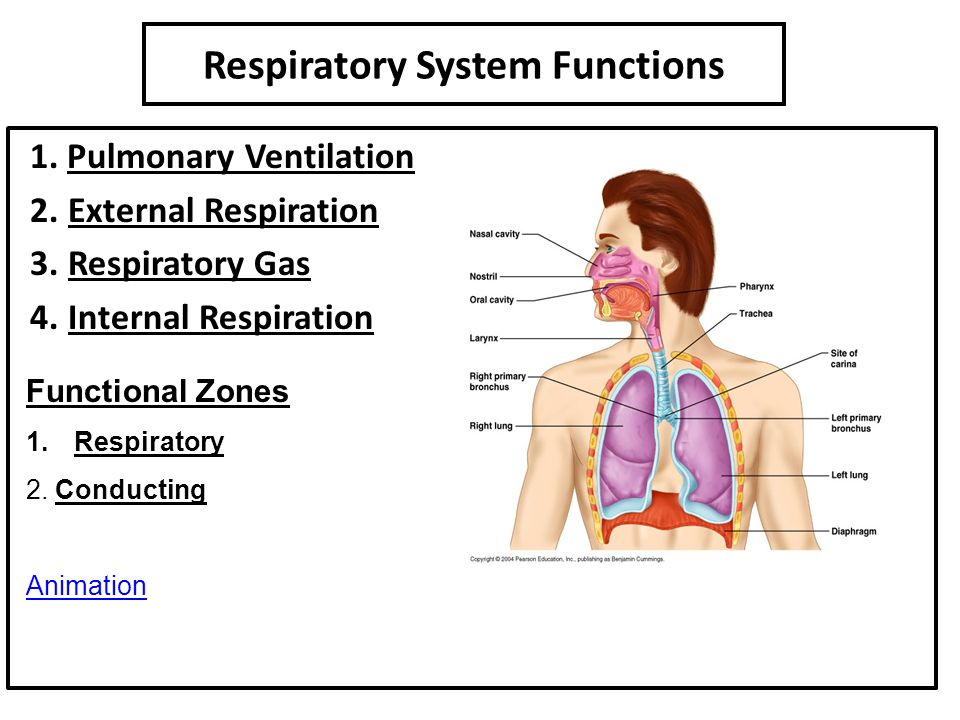 pulmonary ventilation or breathing essay The difference in pressures drives pulmonary ventilation because air flows down a  the lungs themselves are passive during breathing,  essay questions.