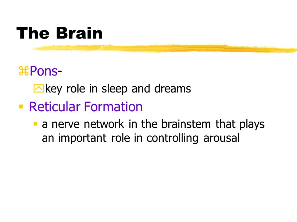 The Brain zPons- ykey role in sleep and dreams  Reticular Formation  a nerve network in the brainstem that plays an important role in controlling arousal