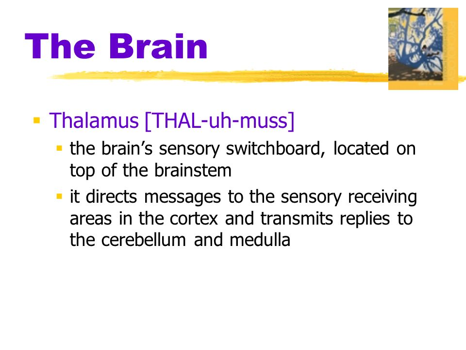 The Brain  Thalamus [THAL-uh-muss]  the brain's sensory switchboard, located on top of the brainstem  it directs messages to the sensory receiving areas in the cortex and transmits replies to the cerebellum and medulla