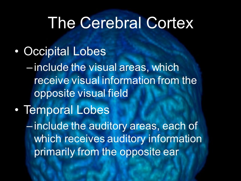 The Cerebral Cortex Frontal Lobes –involved in speaking and muscle movements and in making plans and judgments –the executive Parietal Lobes –include the sensory cortex