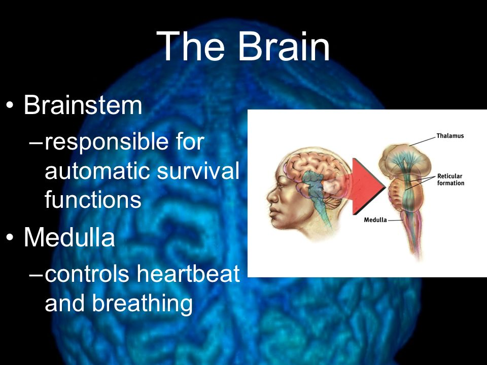 Evolution of the Brain Reptilian  Paleomammalian  Neomammalian