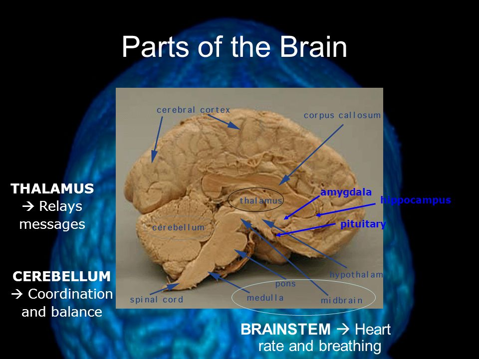 The Brain Brainstem –responsible for automatic survival functions Medulla –controls heartbeat and breathing