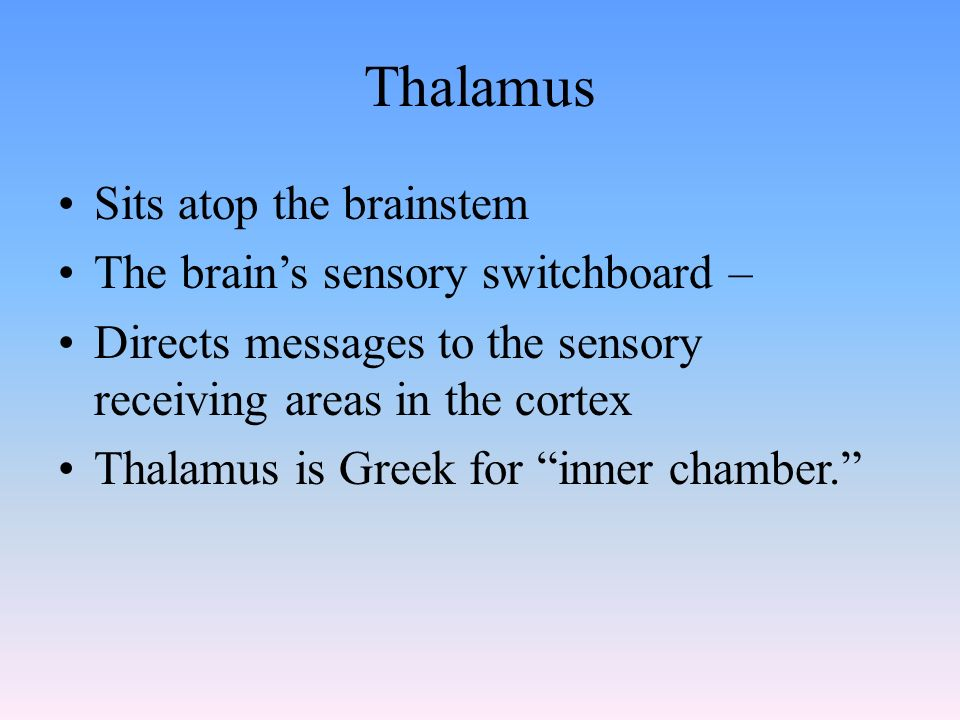 Thalamus Sits atop the brainstem The brain's sensory switchboard – Directs messages to the sensory receiving areas in the cortex Thalamus is Greek for inner chamber.