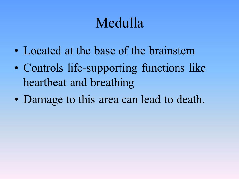 Medulla Located at the base of the brainstem Controls life-supporting functions like heartbeat and breathing Damage to this area can lead to death.