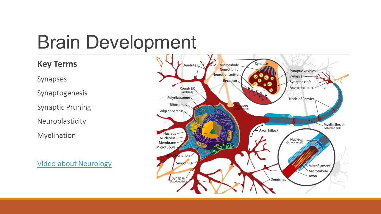 Brain Development Key Terms Synapses Synaptogenesis Synaptic Pruning Neuroplasticity Myelination Video about Neurology