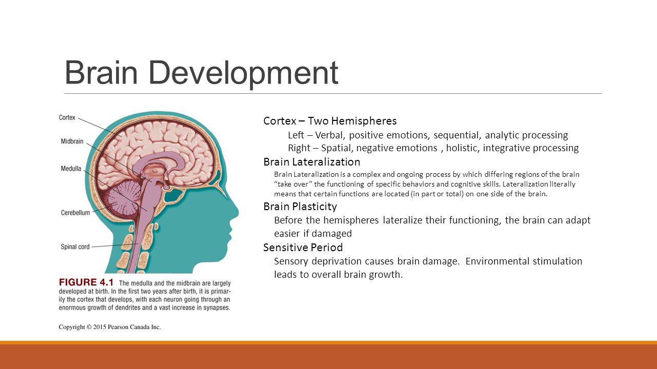 Brain Development Cortex – Two Hemispheres Left – Verbal, positive emotions, sequential, analytic processing Right – Spatial, negative emotions, holistic, integrative processing Brain Lateralization Brain Lateralization is a complex and ongoing process by which differing regions of the brain take over the functioning of specific behaviors and cognitive skills.