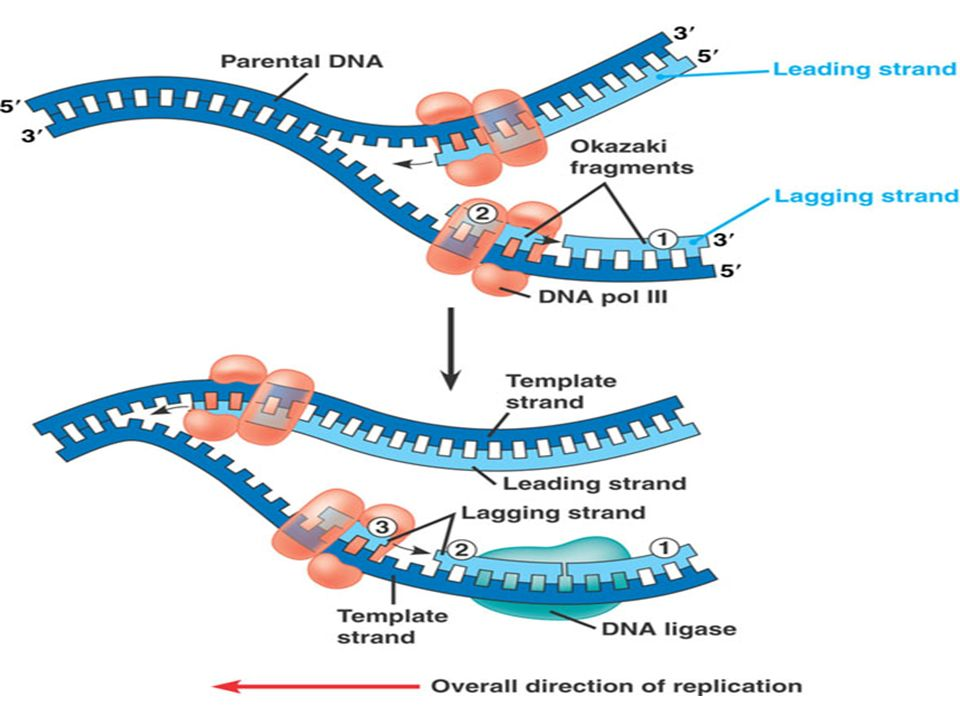 6lecular basis of inheritance ppt download 37 ccuart Image collections