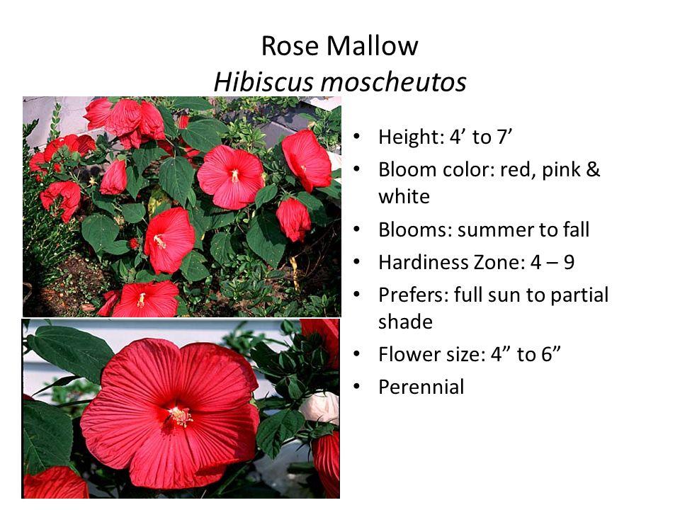 Perennial flower identification ii horticulture i cp mr traeger 4 rose mightylinksfo