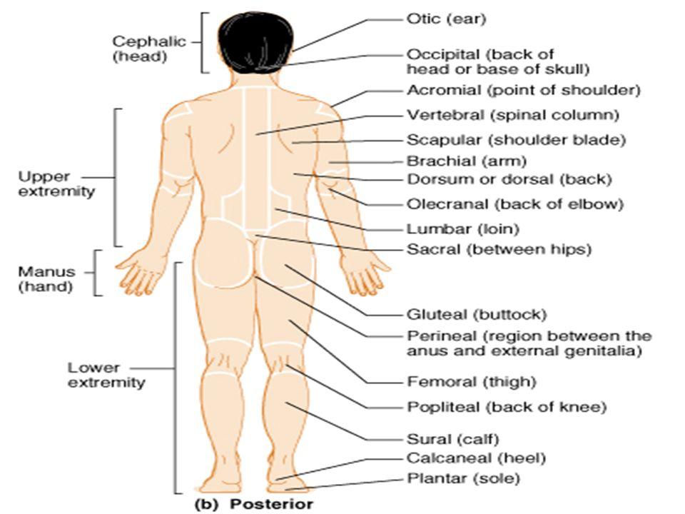 Buttocks External Anatomy Diagram - Application Wiring Diagram •