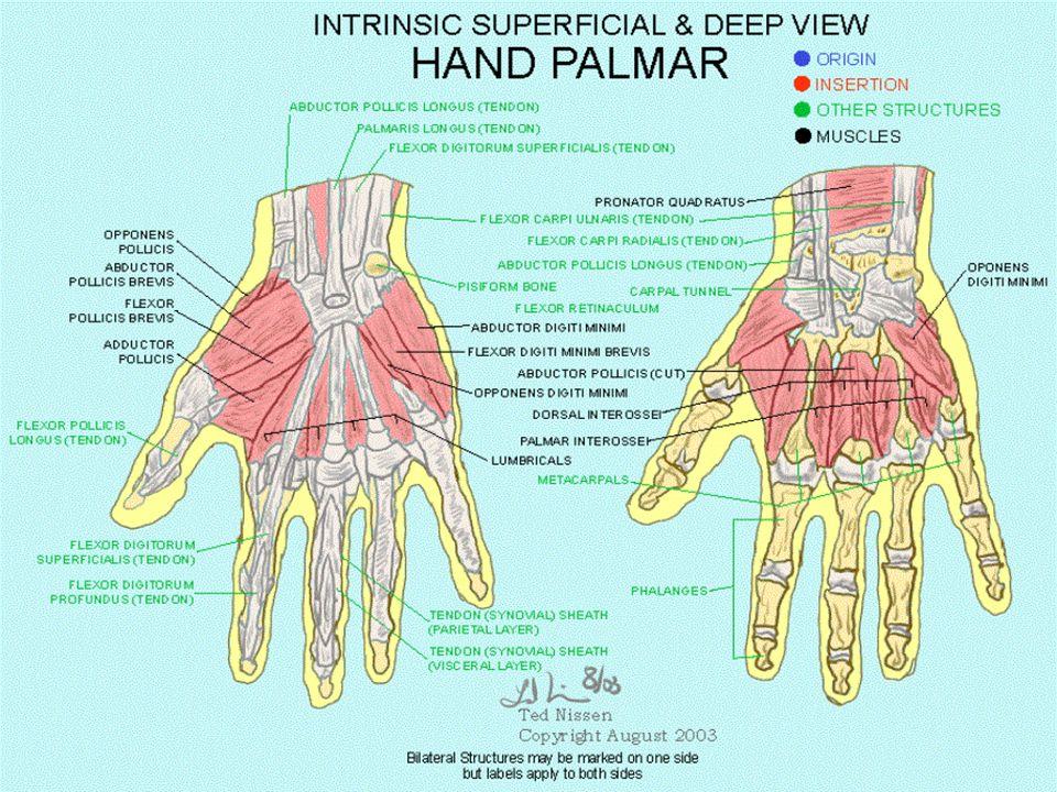 deep palmar space of hand - 913×707