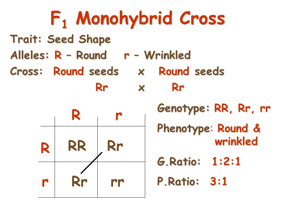 27 P 1 Monohybrid Cross Review  Homozygous dominant x Homozygous recessive  Offspring all Heterozygous (hybrids)  Offspring called F 1 generation  Genotypic & Phenotypic ratio is ALL ALIKE