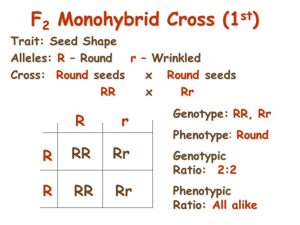 31 …And Now the Test Cross Mendel then crossed a pure & a hybrid from his F 2 generation This is known as an F 2 or test cross There are two possible testcrosses: Homozygous dominant x Hybrid Homozygous recessive x Hybrid