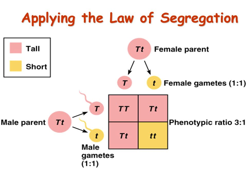39 Law of Segregation During the formation of gametes (eggs or sperm), the two alleles responsible for a trait separate from each other.