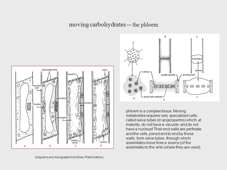 Fancy Esau Plant Anatomy Images - Anatomy And Physiology Biology ...