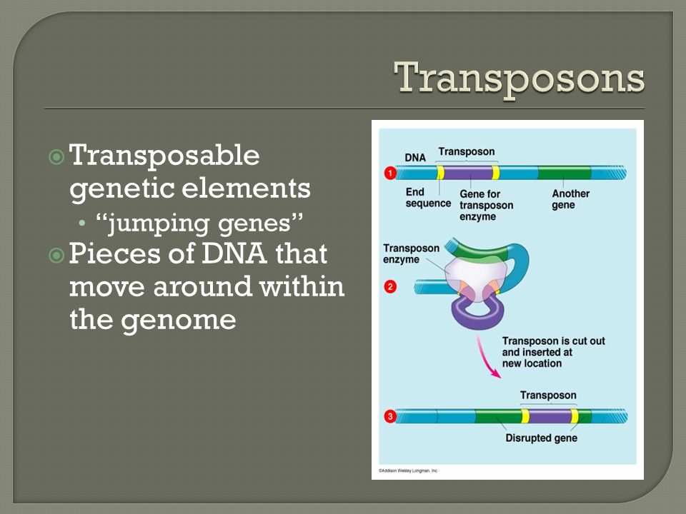  Transposable genetic elements jumping genes  Pieces of DNA that move around within the genome