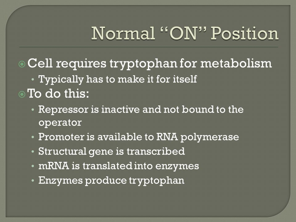  Cell requires tryptophan for metabolism Typically has to make it for itself  To do this: Repressor is inactive and not bound to the operator Promoter is available to RNA polymerase Structural gene is transcribed mRNA is translated into enzymes Enzymes produce tryptophan