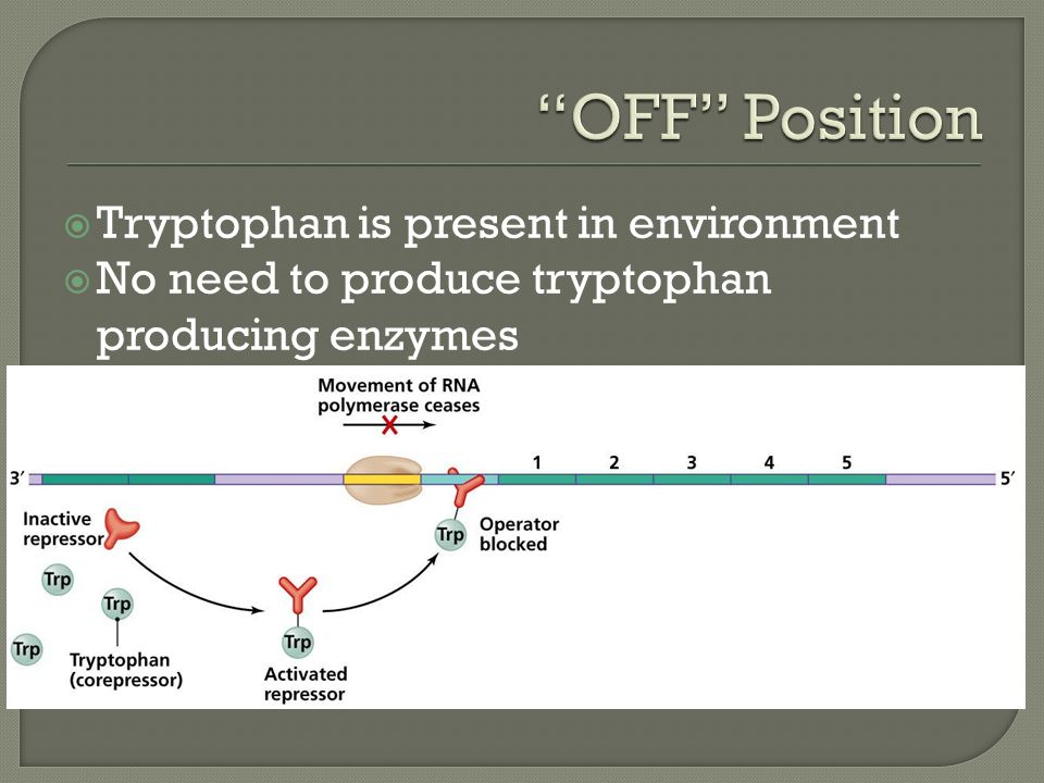  Tryptophan is present in environment  No need to produce tryptophan producing enzymes