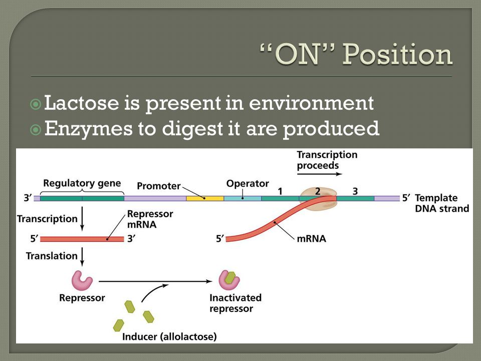  Lactose is present in environment  Enzymes to digest it are produced