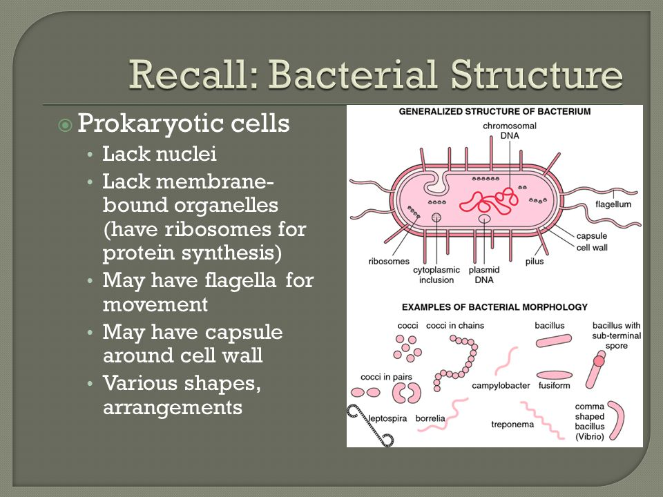  Prokaryotic cells Lack nuclei Lack membrane- bound organelles (have ribosomes for protein synthesis) May have flagella for movement May have capsule around cell wall Various shapes, arrangements