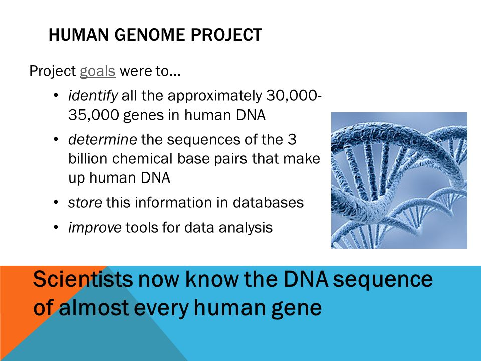 HUMAN GENOME PROJECT Project goals were to…goals identify all the approximately 30, ,000 genes in human DNA determine the sequences of the 3 billion chemical base pairs that make up human DNA store this information in databases improve tools for data analysis Scientists now know the DNA sequence of almost every human gene